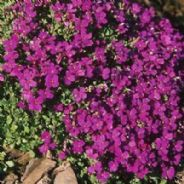 Aubrieta Royal Violet Appx 250 seeds